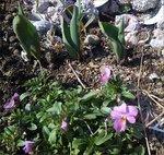 biora_tulip.jpg