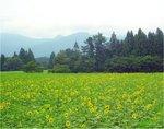 himawarihatake2009.jpg